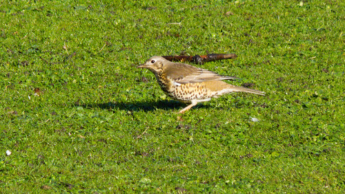 Mistle thrush pair, West Park