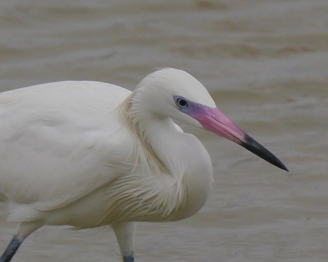 Reddish Egret (White Phase)