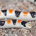 Colorado Desert Shovel-nosed Snake (Chionactis annulata annulata) by Chad M. Lane