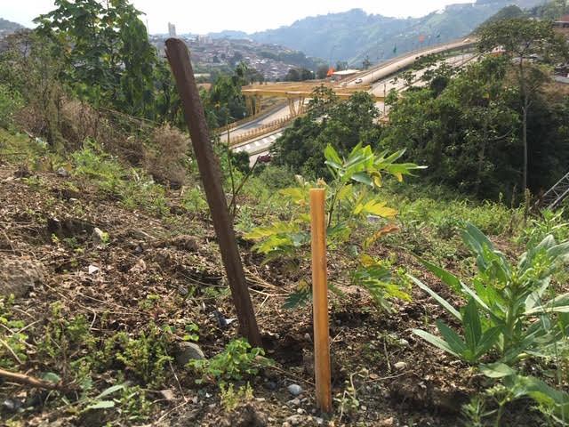 Árboles sembrados y no cuidados en Manizales