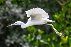 Juvenile Little Blue Heron Inflight