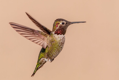 Male Anna's Hummingbird ( Explored 3-13-19 )