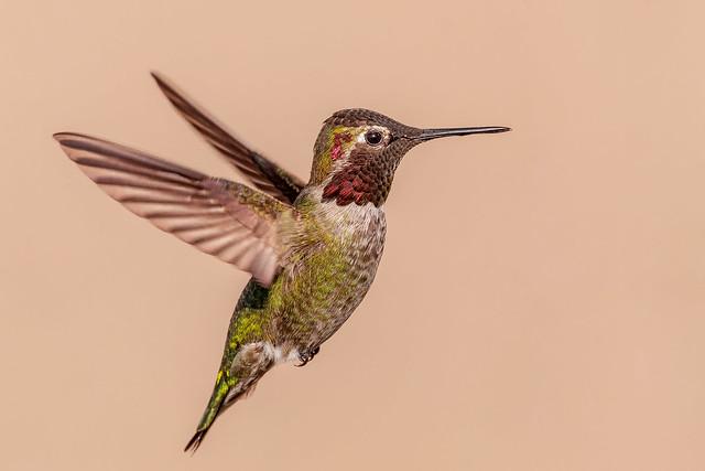 Male Anna's Hummingbird ( Explored 3-13-19 )