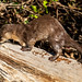 OTTER, Neotropical River