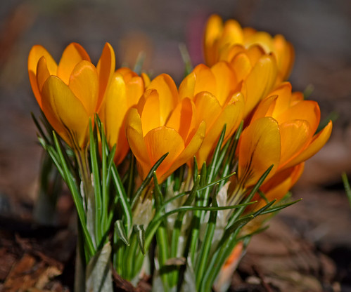 Colors of spring 💛 Other crocuses, now in yellow
