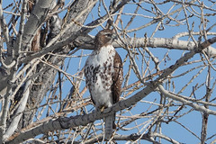 Identification of Individual Red-Tailed Hawk, A Different Hawk