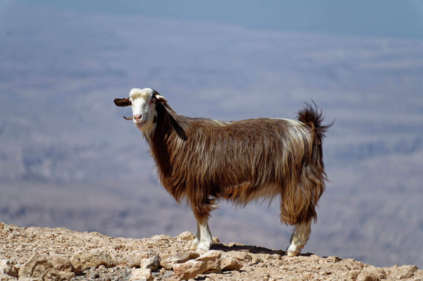 A goat in the Hajar Mountains, Oman