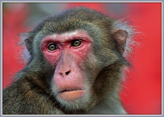 Red faced Monkey