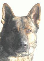 Retired SPD K9 Passes Away