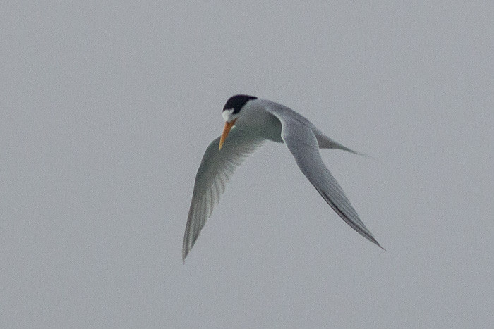 Fairy Tern - adult breeding