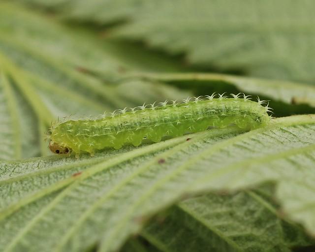 Raspberry Sawfly larva - Monophadnoides rubi.