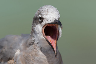 Laughing Gull (Leucophaeus atricilla) | by Wildlife Photography by Matt Latham