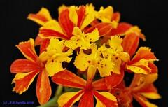 Epidendrum fulgens flameado