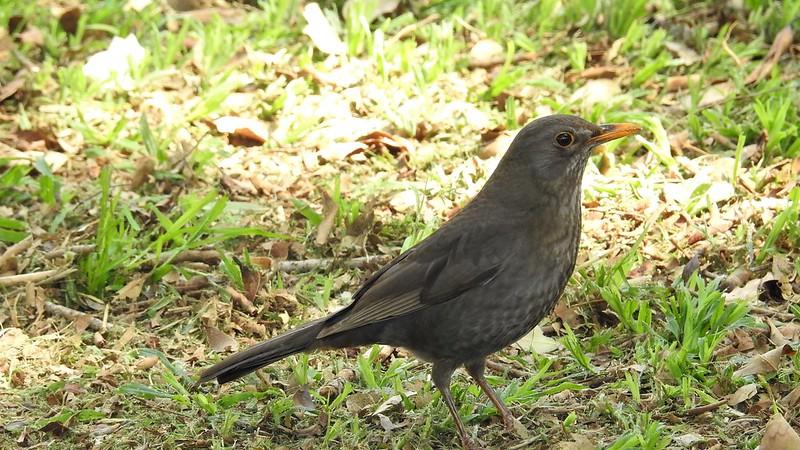 Чёрный дрозд Turdus merula Blackbird