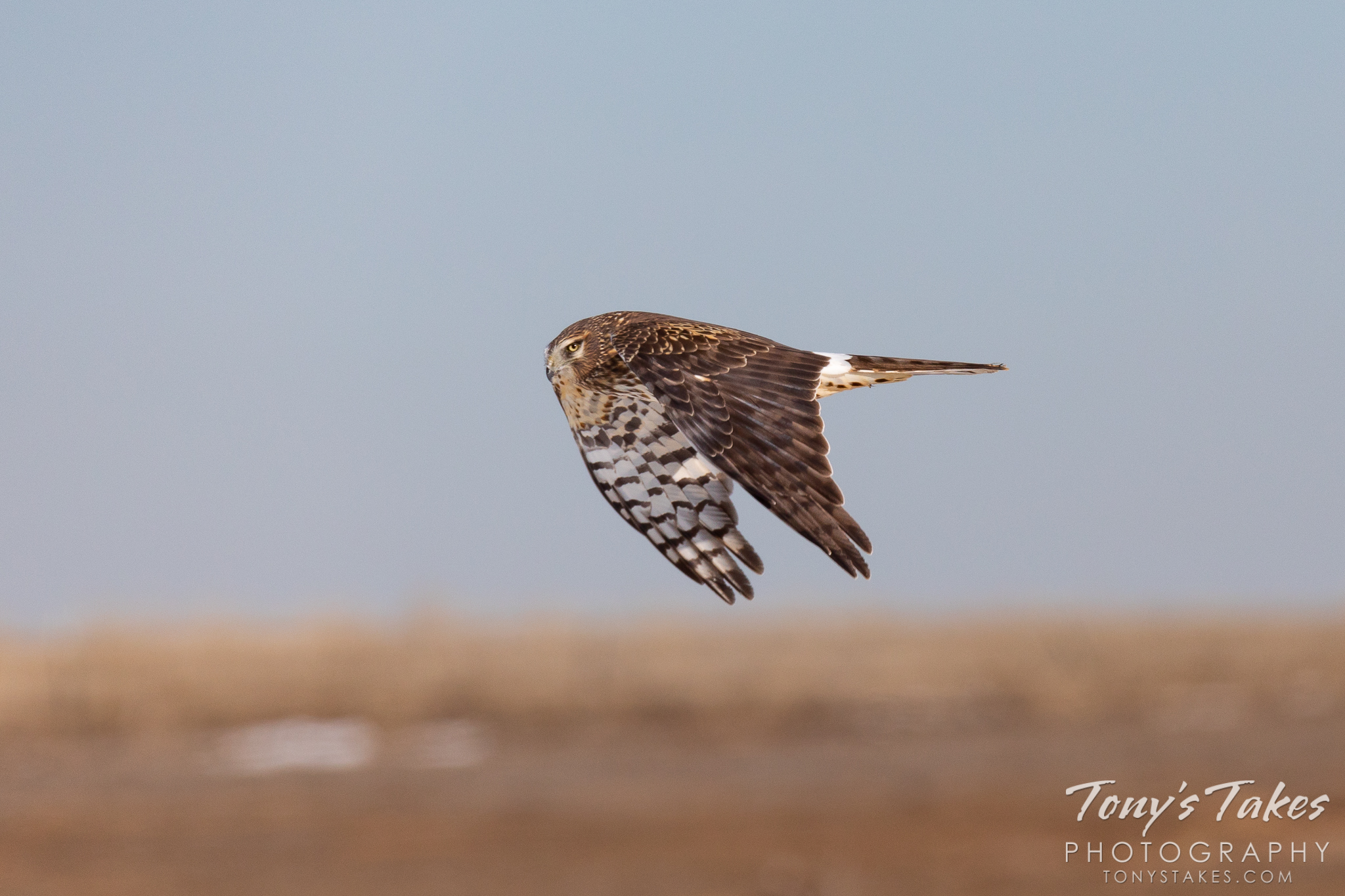A female northern harrier performs a flyby. (© Tony's Takes)