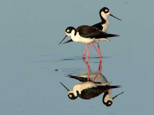 Black-necked Stilts 010-20190401