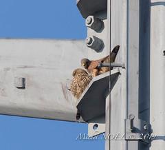 Faucon crécerelle Falco - tinnunculus - Common Kestrel : Michel NOËL © 2019-8745.jpg