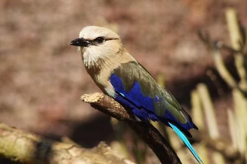 Rollier à ventre bleu (Coracias cyanogaster)