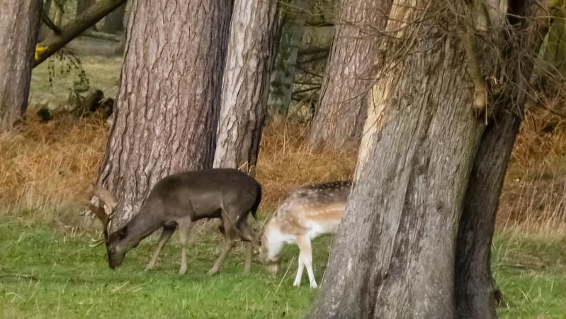 Fallow deer, Wollaton Park, Nottingham
