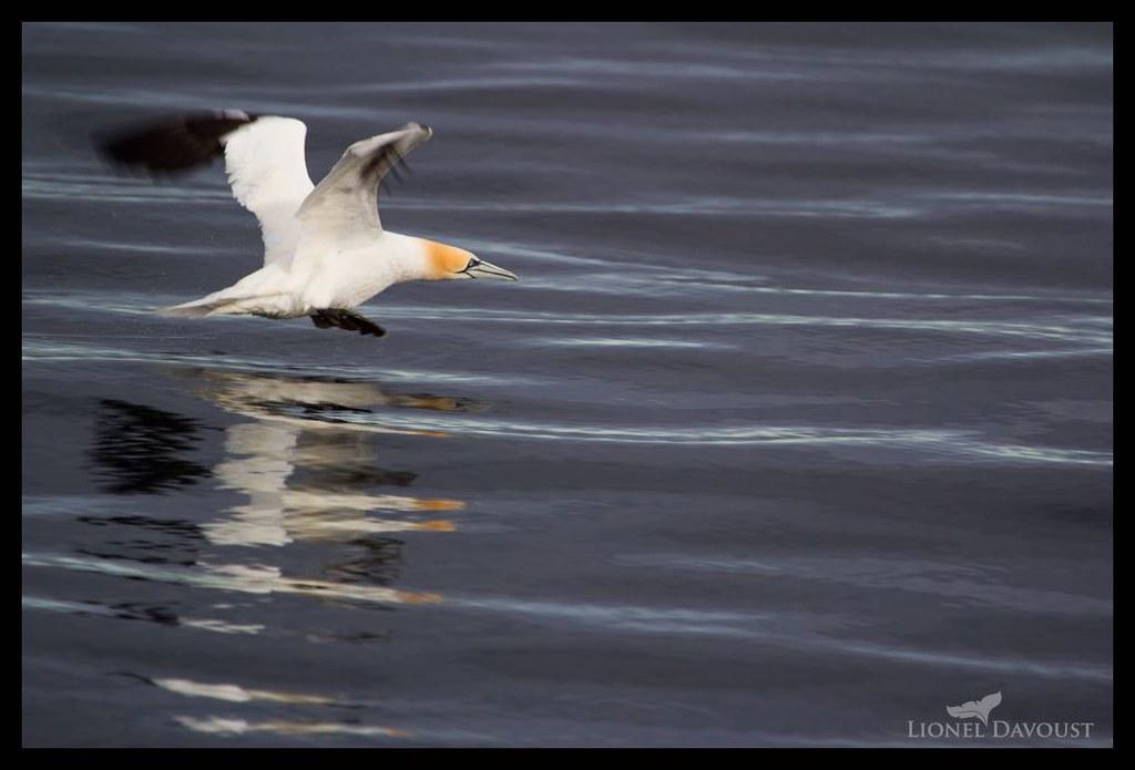 Landing gannet