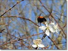 In Flight. Buff-tailed Bumble-Bee.