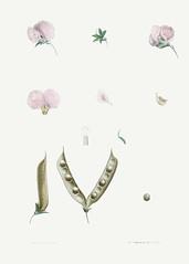 Pink butterfly pea flower
