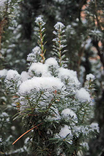Ice and snow on yew shrub after winter storm in Ontario by irieknit