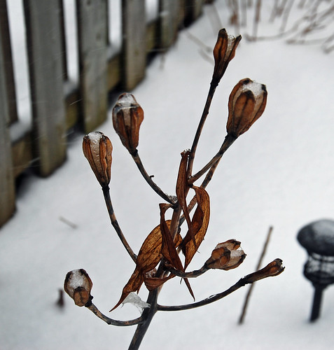 Ice filling Easter Lily plant the morning after a 24-hour Colorado low winter storm by irieknit