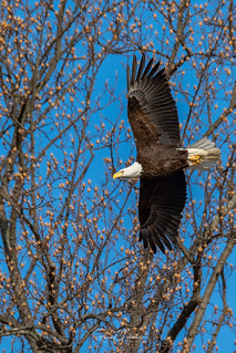 Bald Eagles of New Jersey | 2019 - 10