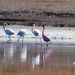 Flamencos en la laguna Larga de Villacañas (Toledo) 3-3-2019