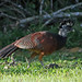 7D2_6261_Great Curassow
