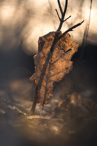 Autumn Leave in Morning Light from Toni Hoffmann
