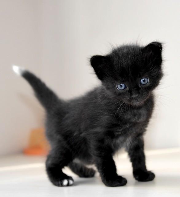Yoel, gatito monisimo pelo semilargo negro esterilizado, nacido en Febrero´19, en adopción. Valencia. 33583668138_afaa797505_z