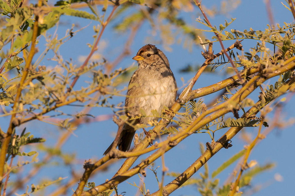 A young white-crowned sparrow perches in a tree on a sunny winter morning along the Marcus Landslide Trail in McDowell Sonoran Preserve in Scottsdale, Arizona