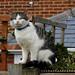 Tabby Cat, allotment, Feb 16 2019, P1 (2)