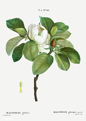 Magnolia elegans (Magnolia glauca) illustration from Traité des