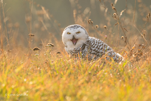 Snowy Owl - Thats close enough! 501_3688.jpg