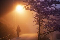 <20190301> 恩愛農場 櫻花季 Cherry Blossoms