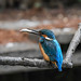 Kingfisher 1903171388.jpg