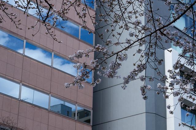 都心の桜2019