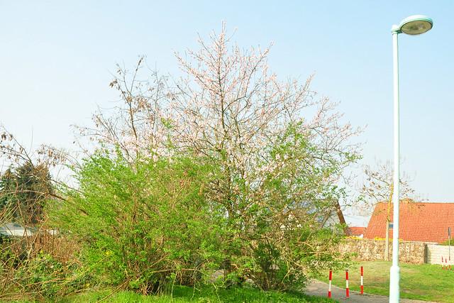 März 2019: Blühende Mandelbäume nicht nur in Gimmeldingen ... hier: Mannheim-Seckenheim ... rosafarbene und weiße Blüten ... Foto: Brigitte Stolle