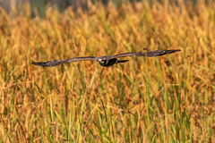 Snail Kite Inflight at Sunset