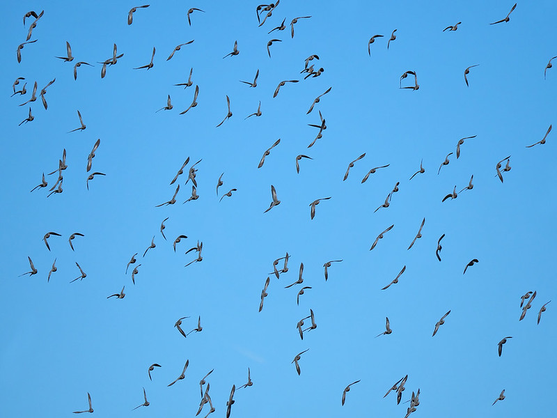Large flock of Stock Doves