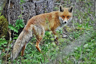 Renard roux (Vulpes vulpes) (17)