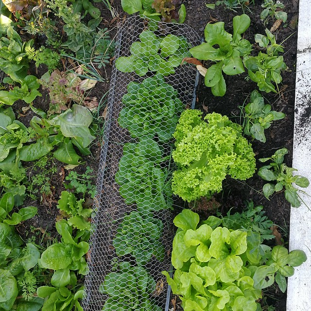 lettuce planting in Top Wiking Bed by Dan