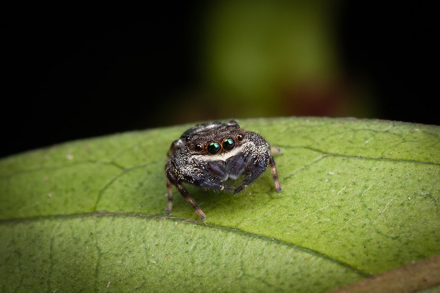 Spider C