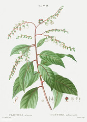 Lily of the valley tree (Clethra arborea) illustration from Trai