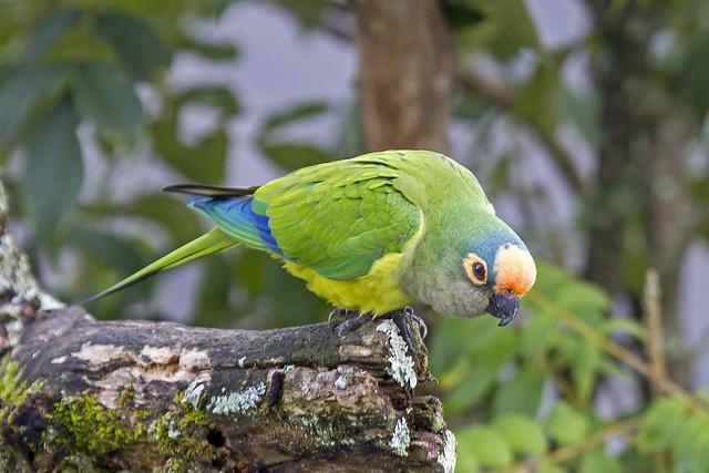periquito-rei Eupsittula aurea (Gmelin, 1788) Nome em Inglês Peach-fronted Parakeet