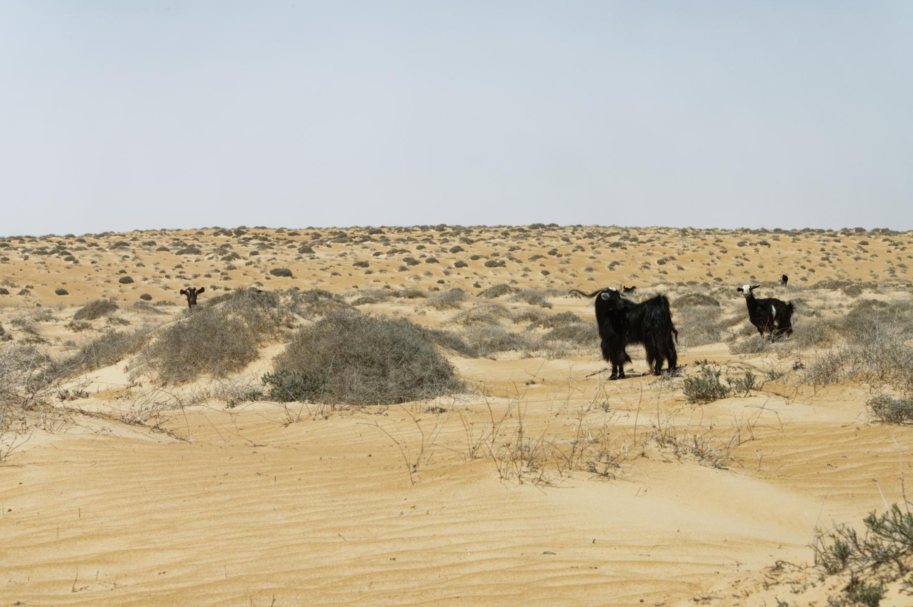 Goats in the desert, Oman
