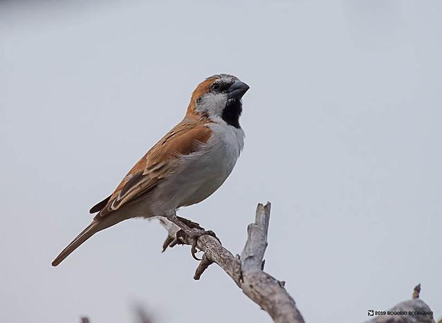 Passer motitensis ( Great Rufous Sparrow )